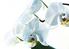 orchid λουλουδιών λευκό Στοκ Εικόνες