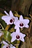 orchid λουλουδιών λευκό Στοκ Εικόνα