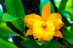 orchid λουλουδιών κίτρινο Στοκ εικόνα με δικαίωμα ελεύθερης χρήσης