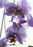 orchid λουλουδιών πορφύρα Στοκ Φωτογραφία