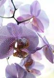 orchid λουλουδιών πορφύρα Στοκ Εικόνες