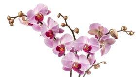 Orchid λουλούδια με τις πτώσεις νερού στοκ φωτογραφία με δικαίωμα ελεύθερης χρήσης