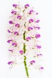 Orchid λουλούδι Στοκ εικόνα με δικαίωμα ελεύθερης χρήσης