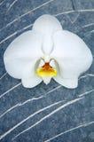 orchid πέτρα Στοκ Φωτογραφίες