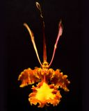 orchid πεταλούδων Στοκ εικόνα με δικαίωμα ελεύθερης χρήσης