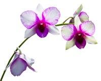 orchid πορφυρό λευκό Στοκ φωτογραφίες με δικαίωμα ελεύθερης χρήσης