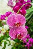 orchid πορφυρό λευκό Στοκ Φωτογραφίες
