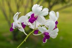 orchid πορφυρό λευκό Στοκ φωτογραφία με δικαίωμα ελεύθερης χρήσης