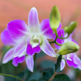 orchid πορφυρό λευκό Στοκ Φωτογραφία