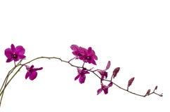 orchid πορφυρό λευκό Στοκ Εικόνα