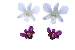 orchid πορφυρό λευκό Στοκ εικόνες με δικαίωμα ελεύθερης χρήσης