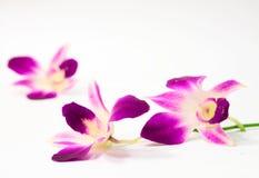 orchid πορφύρα στοκ φωτογραφίες
