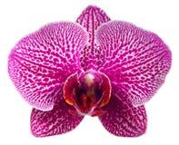 orchid πορφύρα Στοκ Εικόνα