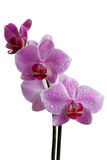 Orchid - ροζ. (Απομονωμένος). Στοκ φωτογραφία με δικαίωμα ελεύθερης χρήσης