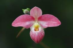 orchid ροζ στοκ φωτογραφία