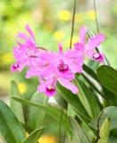orchid ροζ Στοκ φωτογραφίες με δικαίωμα ελεύθερης χρήσης