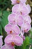 orchid ροζ Στοκ Εικόνες