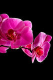 orchid ροζ Στοκ φωτογραφία με δικαίωμα ελεύθερης χρήσης