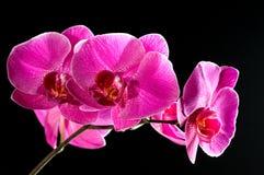 orchid ροζ Στοκ εικόνα με δικαίωμα ελεύθερης χρήσης