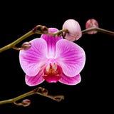 orchid ροζ phalaenopsis ρηγέ Στοκ φωτογραφία με δικαίωμα ελεύθερης χρήσης