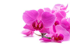 orchid ροζ phalaenopsis ρηγέ Στοκ Φωτογραφίες