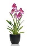 orchid ρόδινο δοχείο Στοκ εικόνα με δικαίωμα ελεύθερης χρήσης