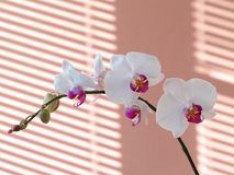Orchid. The white orchid and orange background Stock Image