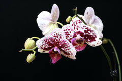 Orchid. Pink rose white orchid on the black background Royalty Free Stock Photo