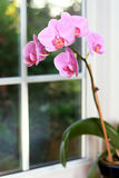 Orchid. Pink orchid in front of bay window panes Stock Image