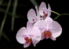 Orchid. Pink variegated orchid against dark background Stock Image