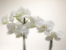 Orchid Stock Photos