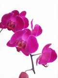 Orchid. A purple orchid plant in front of white background Royalty Free Stock Photography