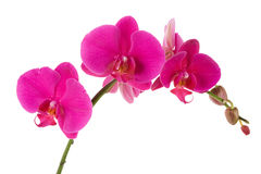 Free Orchid Stock Photo - 11490920
