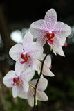 Orchid. Close up of the beautiful blossoming orchid Stock Images