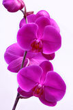 Orchid. Pink orchid tropical beauty flower from Indonesia Royalty Free Stock Images