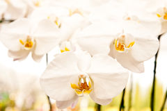 Free Orchid Royalty Free Stock Photo - 12270105