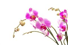 Orchid Royalty Free Stock Photos