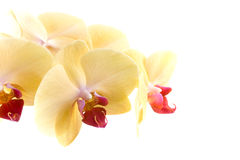 Orchid. Yellow orange flower orchid on white background Royalty Free Stock Images