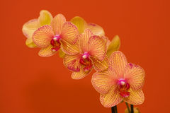 Orchid. Just a beautiful orchid in the vase Stock Photo