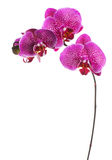Orchid. Beautiful Orchid border over white background royalty free stock photos