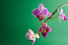 Orchid. Magenta colored orchid placed on a green background Royalty Free Stock Photo