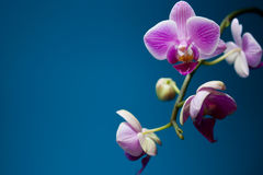 Orchid. Magenta colored orchid placed on a blue background Stock Photo