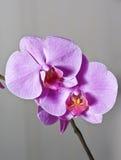 orchid Στοκ Φωτογραφίες