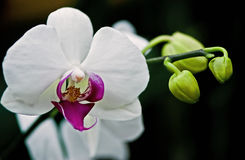 Orchid. A blooming white orchid Phalaenopsis and three green flower buds on a black background royalty free stock photos