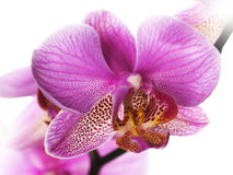 Free Orchid Stock Image - 13047861