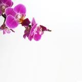 orchid Arkivbilder