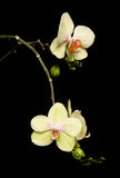 Orchid. Yellow orchid in a studio with black background Stock Image