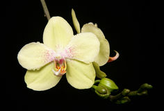Orchid. Yellow orchid in a studio with black background Stock Images