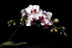 The orchid Royalty Free Stock Image