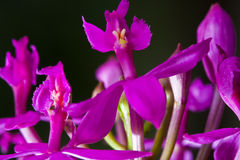 Orchid. Purple orchid on dark background image Royalty Free Stock Photo